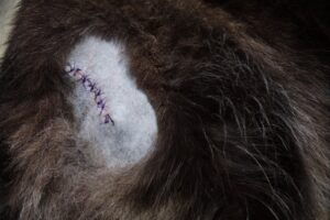 Bella with stitches