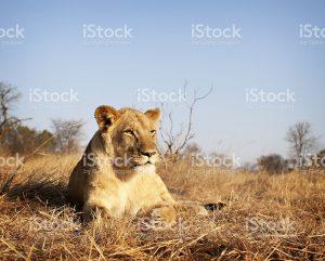 istock lion