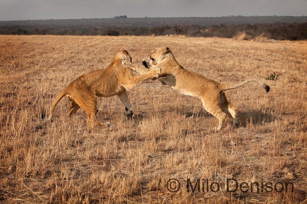 two lions fight